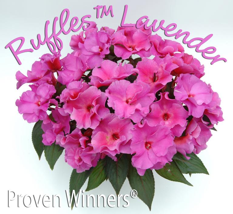 NewGuineaRuffles_lavender