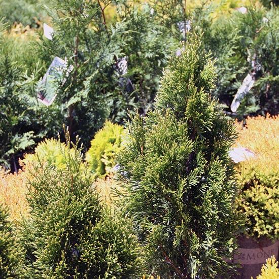 Small Ornamental Trees For Kansas: Suburban Lawn & Garden