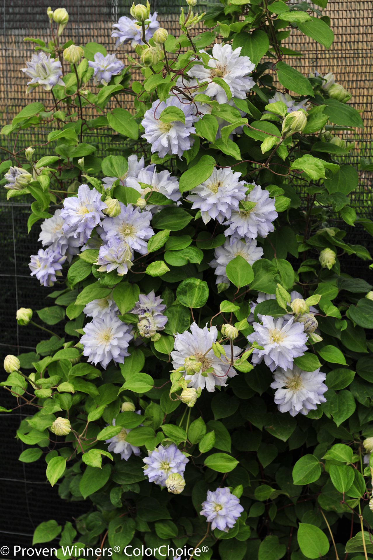 clematis_diamond_ball_-